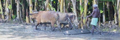Bönder som plogar det jordbruks- fältet i traditionell väg var en plog fästas till tjurar royaltyfria bilder