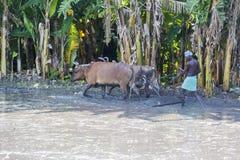 Bönder som plogar det jordbruks- fältet i traditionell väg var en plog fästas till tjurar fotografering för bildbyråer