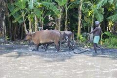 Bönder som plogar det jordbruks- fältet i traditionell väg var en plog fästas till tjurar royaltyfri bild