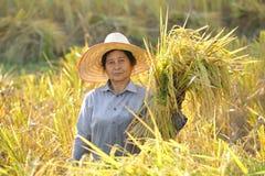 Bönder som skördar i risfältet Thailand Royaltyfri Bild
