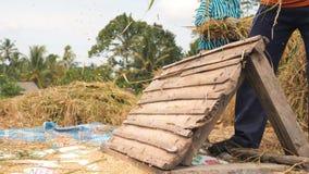 Bönder som skördar organiska ris på Paddy Field 4K bali indonesia stock video