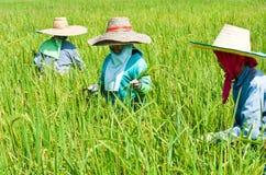 Bönder som skördar ris i Thailand Arkivbilder
