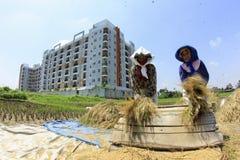 Bönder tar bort risen från träd efter skörd royaltyfri bild