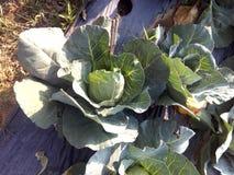 Bönder växer grönsaker arkivbilder