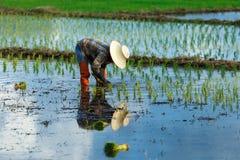 Bönder växer ris Thailand Arkivbilder