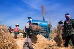 Bönderna som skördar ris Royaltyfria Foton