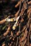 bönor field klar soy för skörden till Royaltyfri Bild