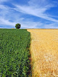 Bönor och kornfält under dramatisk himmel Arkivbild
