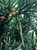 Bönsyrsa i Leyland Cypress royaltyfri foto
