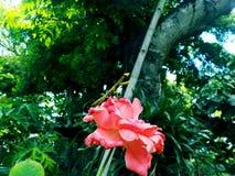Bönsyrsa på blomman arkivfoto