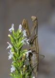 Bönsyrsa på blomman royaltyfri fotografi