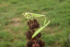 Bönsyrsa på tången Para ihop mantises Bönsyrsakryprovdjur Royaltyfria Bilder