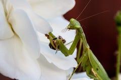 Bönsyrsa som äter ett bi Royaltyfria Foton
