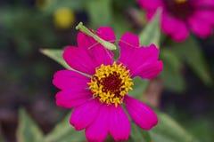 Bönsyrsamantodea på den purpurfärgade blomman arkivbild