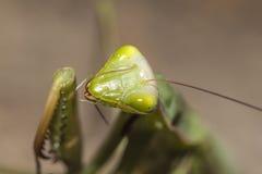 Bönsyrsan sitter på en växt Arkivfoton