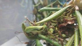 4 bönsyrsor för gammal kines för vecka Preying arkivbild