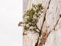 Bördig växt en spricka av marmorberget Arkivfoton