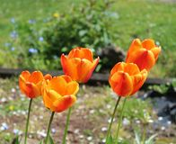 Början av våren i en tulpan arkivfoto