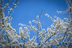 Början av våren med blå himmel Royaltyfria Bilder