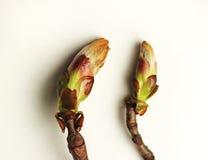 Början för kastanjebrunt träd Arkivfoto