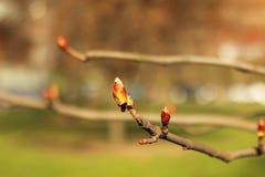 Början för kastanjebrunt träd Royaltyfri Fotografi