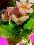börjar den vulgaris grunda fjädern för dof-primulaen royaltyfri bild