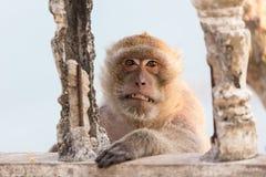 Böser Makaken, der Zähne zeigt Stockfotografie