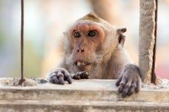 Böser Makaken, der Zähne zeigt Stockfotos