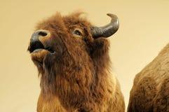 Búfalo Imagen de archivo libre de regalías