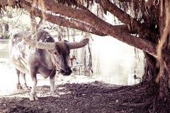 Búfalo Imagens de Stock Royalty Free