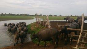 búfalo Imagenes de archivo