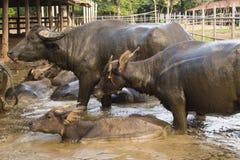 búfalo Imagem de Stock