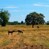 búfalo Imagen de archivo
