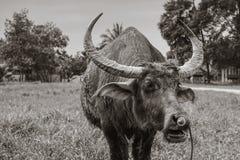 búfalo Imagens de Stock