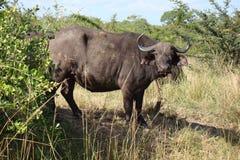 1 búfalo Imágenes de archivo libres de regalías