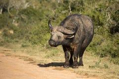 Búfalo africano Imágenes de archivo libres de regalías