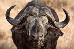 Búfalo africano Imagen de archivo libre de regalías