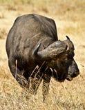 Búfalo africano Fotos de archivo