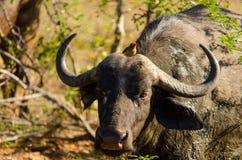 Búfalo africano Fotos de archivo libres de regalías