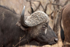 Búfalo africano Bull Fotos de Stock
