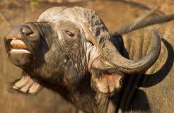 Búfalo africano com boca aberta Fotografia de Stock
