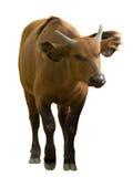 Búfalo africano del bosque Imágenes de archivo libres de regalías