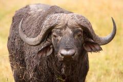 Búfalo africano del cabo en sabana africana Foto de archivo libre de regalías