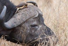 Búfalo africano e um Oxpecker. Foto de Stock