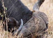 Búfalo africano e um Oxpecker. Fotos de Stock