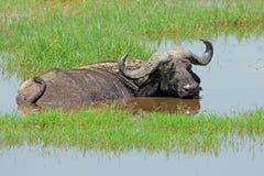 Búfalo africano en agua Foto de archivo
