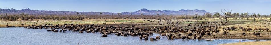 Búfalo africano en el parque nacional de Kruger, Suráfrica imagen de archivo libre de regalías