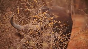 Búfalo africano en la reserva del juego de Madikwe almacen de video