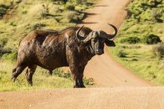 Búfalo africano grande que se coloca en un camino de la grava Imágenes de archivo libres de regalías