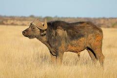 Búfalo africano na pastagem - África do Sul foto de stock